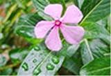 HONIC Importati 100 pc Misti Piante Pervinca Bonsai Fiore Vinca Copri Jardin Blooming Flore Vaso Mini Garden Facile da Coltivare: 12