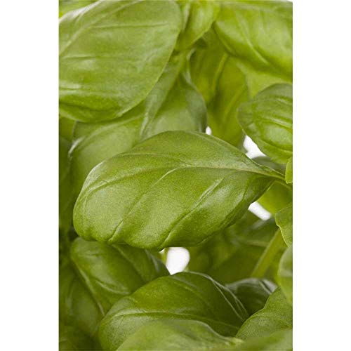 Garten-Basilikum 'Genoveser Basilikum', Ocimum basilicum - Kräuterpflanze im Topf 11 cm, in Gärtnerqualität - 11 cm