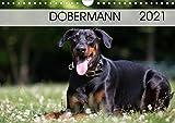 Dobermann 2021 (Wandkalender 2021 DIN A4 quer)