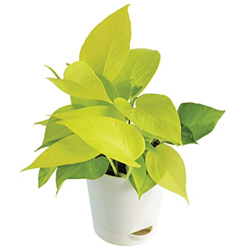 Ugaoo Golden Money Plant with Self Watering Flower Pot, Pot Height 4' and Plant Height 6', Pack of 1