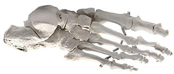 Foot Bone Model Articulated - Right - Anatomically Accurate Human Bone Replica - hBARSCI