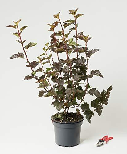Teufelsstrauch oder Rote Fasanenspiere - Physocarpus opulifolius Diabolo 60-100 cm hoch - Garten von Ehren