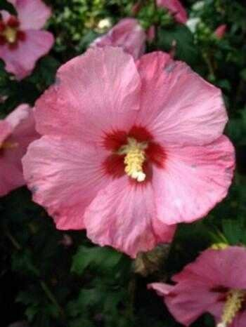 Hibiscus dunkelrosa mit rotem Fleck Hibscus Afrodita 60 cm hoch im 3 Liter Pflanzcontainer