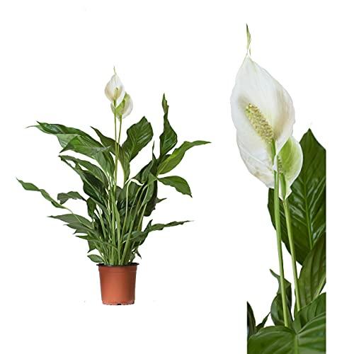 Echte Spathiphyllum Friedenslilie -...