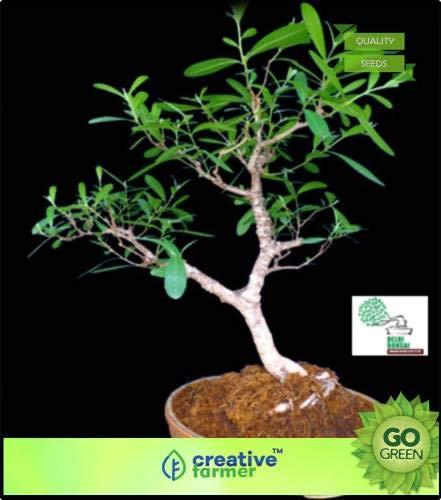 FERRY Hohe Wachstum Seeds Nicht NUR Pflanzen: Saatgut von s Arjuna (Terminalia Arjuna) Samt für Gärten Seed (20 pro Paket)