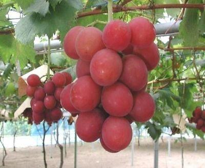 Neu ! -Top 10 Rare Luxus grapes- Authentic Rubin Roman Trauben 5 geschichteten Samen