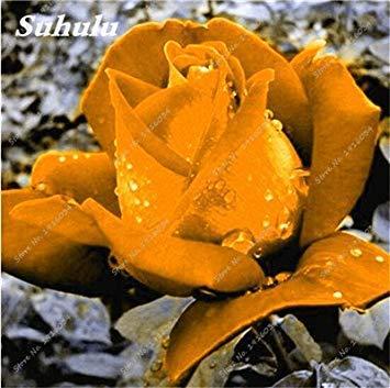 100 PC/Beutel Rare Farbe Rosen-Samen im Freien Blumensamen Staudenblumen Samen Topfpflanze für Hausgarten-Dekor-10