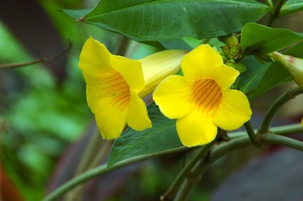 Gelber Trompetenwein Tolle Blüten winterhart 10 Samen