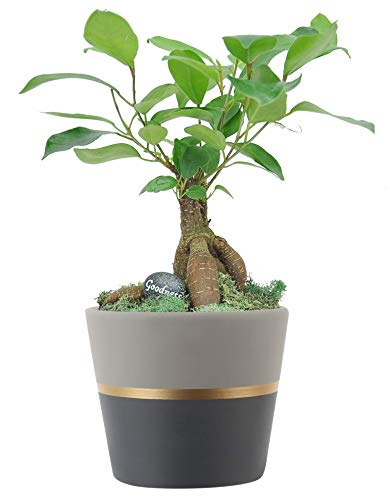 Costa Farms 1-Year Old, Mini Grower's Choice Bonsai Indoor Tree with Inspirational Message in Mocha Home Décor, Black Ceramic Planter