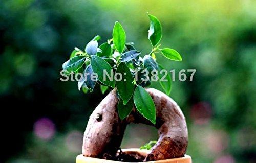 2014 Graines New Aucune Sementes De Flores 10 / sac Banyan Tree Seeds Ficus Ginseng Bonsai Diy jardin