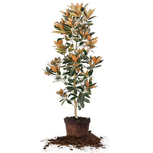 Little Gem Magnolia Tree for Sale