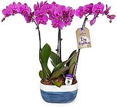 Hallmark Flowers Flower Plant, 10 Inch, Orchid Color: Purple