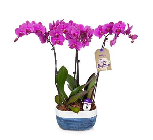 Hallmark Flowers Flower Plant, 10 Inch, Orchid Color: Purple