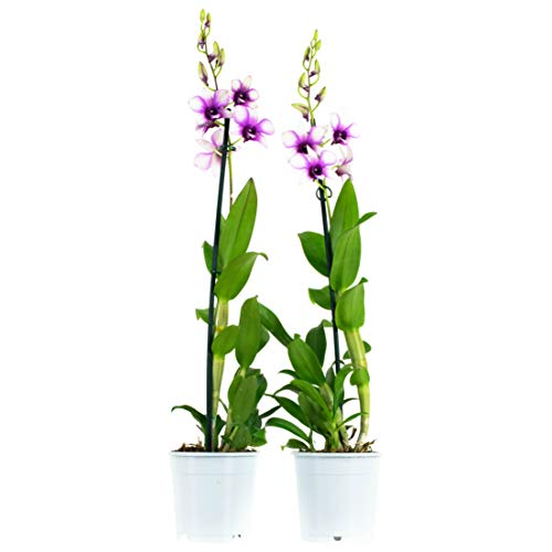 Orquídea - Flores blancas y moradas (2 unidades) | Dendrobium | Plant