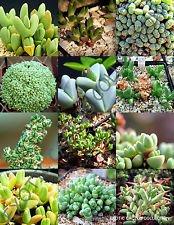 Antimima Mix @ Rare Succulent Cactus exotiques Pierres vivantes Desert Seed - 15 graines