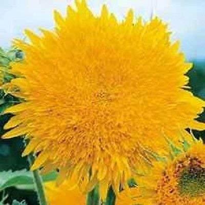 vegherb Sunflower Riesen Sun Gold-40 Samen Garten