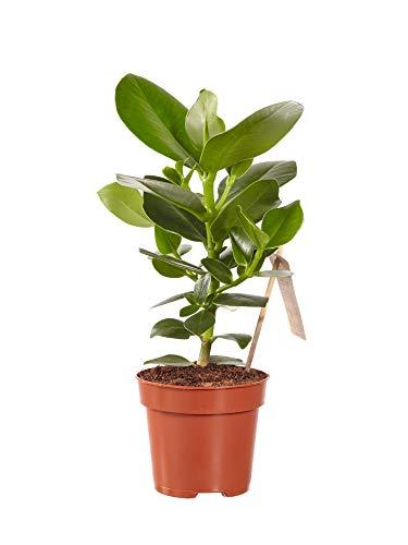 Kamerplant van Botanicly – Varkensboom – Hoogte: 28 cm – Clusia Princess