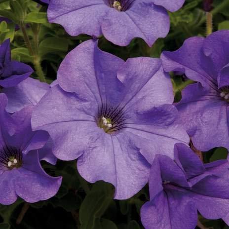 vegherb 15 Samen der Nacht Scentsation Hybrid Petunia