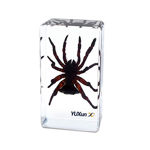 Cherish XT Insect Spider Specimen Paperweight Animal Taxidermy Science Classroom Specimen for Science Education Include Cyclocosmia ricketti Argiope Amoena Specimen (Cyclocosmia ricketti)