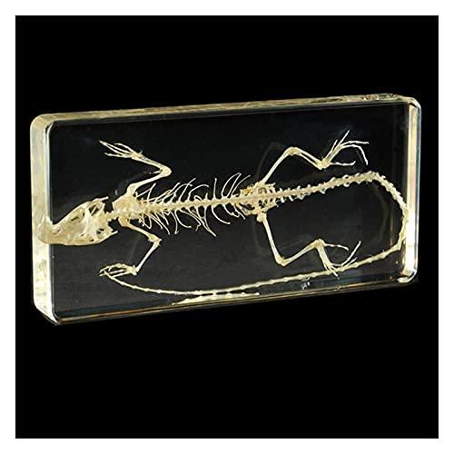 JKFZD Esqueleto de Lagarto Muestras biológicas incrustadas Lagarto Esqueleto Modelo de Hueso Natural Modelo de Esqueleto Animal (Size : 16.4x7.8x1.7cm)