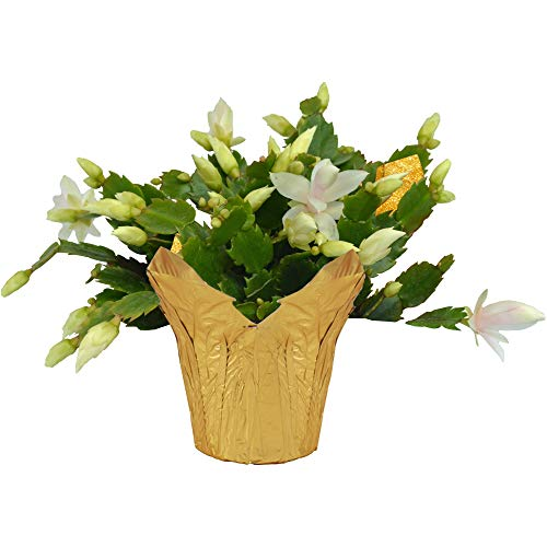 The Three Company Live Flowering 6' Pink Christmas Cactus Wrapped in Gold Deco Cover, Perfect Colorful Gift, White