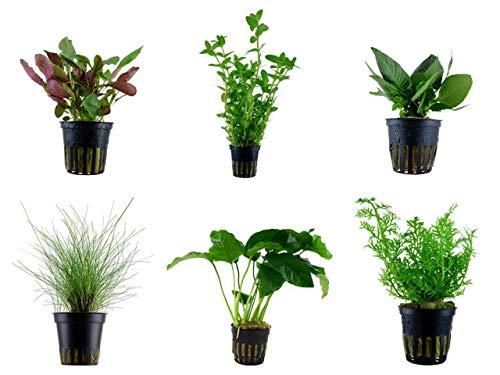 Tropica Einsteiger Set mit 6 einfachen Topf Pflanzen Aquariumpflanzenset Nr.3 Wasserpflanzen Aquarium Aquariumpflanzen