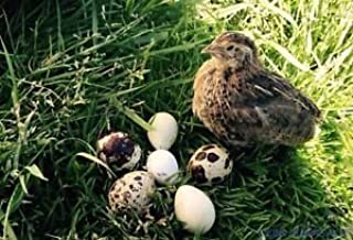 fertile coturnix quail eggs for sale