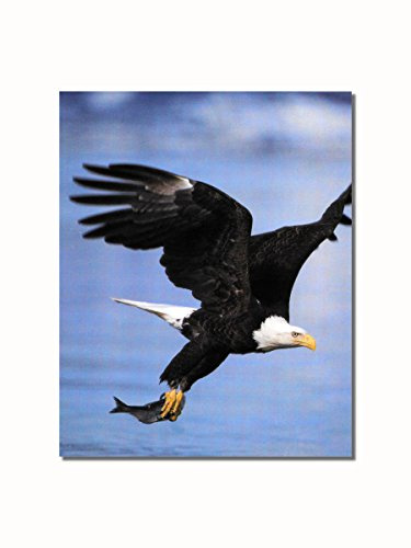 American Bald Eagle in Flight Catches Fish Wall Picture 8x10 Art Print