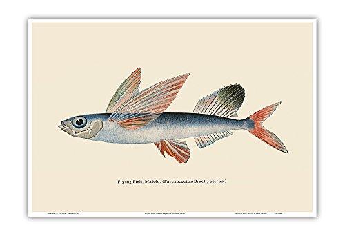 Pacifica Island Art Fliegende Fische (malolo) - Waikiki Hawaii Aquarium - Vintage Retro Farb Postkarte c.1905 - hawaiianischer Kunstdruck - 33cm x 48cm