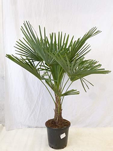[Palmenlager] - Winterharte Palme -Trachycarpus fortunei- 90 cm - Stamm 10-20 cm/Chinesische Hanfpalme - 17°C