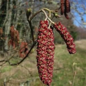 Semi rossi Ontano (Alnus rubra) 100 + Semi