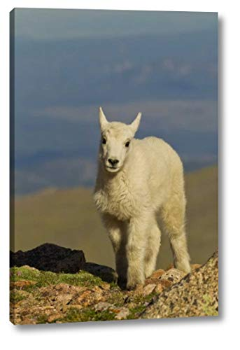 CO, Mount Evans Front View of Mountain Goat Kid by Cathy - Gordon Illg - 15' x 24' Canvas Art Print Gallery Wrapped - Ready to Hang