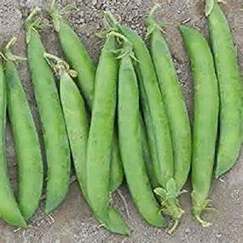 Potseed Germination Les graines: Graines: 200+ Pois semences: Maestro Pois graines fraîches semences Livraison Gratuite !!!