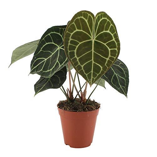 Anthurium clarinervium | Flamingo Pflanze | Grüne Zimmerpflanze | Höhe 35-45 cm | Topf Ø 15 cm