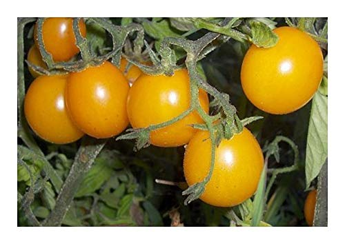 Tomate Cherry Gold Nugget - tomate cerise – 20 graines