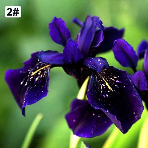 TankMR Boerderijen Zaden Nederlandse Iris Reticulata Zaden Plant Balkon Tuin Bonsai Bloem Thuis Office Decor voor Tuin Balkon/Patio 20pcs Iris Reticulata Zaden