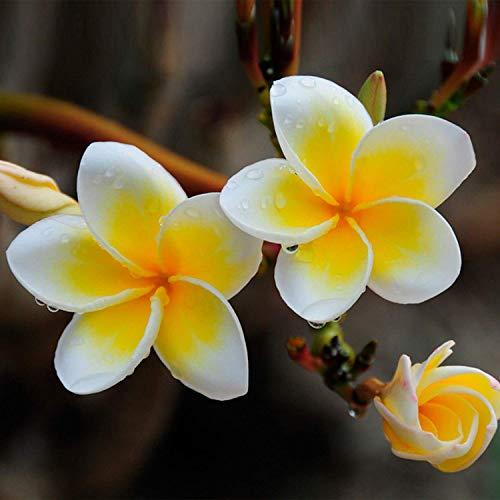 M-Tech jardins Plumeria frangipanier exotique thaïlandaise fleur 10 graines Pack