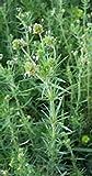 Seeds_for_Planting Psyllium- Herb- 100 Séẹds -