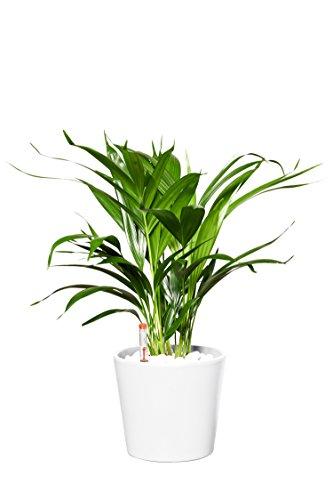 EVRGREEN | Zimmerpflanze Goldfruchtpalme in Hydrokultur mit weißem Topf als Set | Golfblattpalme | Chrysalido carpus Lutescens
