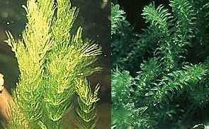 Mühlan - Wasserpflanzenmix für den Gartenteich, 4 Sorten Teichpflanzen, Sauerstoffpflanzen 8 Bund/Portionen