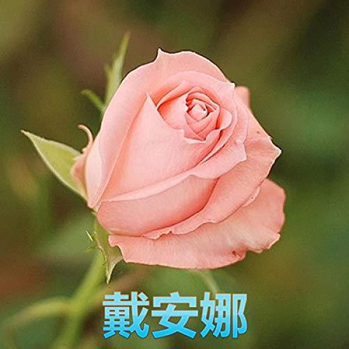Aerlan Plantes de Jardin Décoration,semences vivaces,Fleur Rose, Fleur Rose, Rose Rose Fleurs en Pot-V_50 Capsules