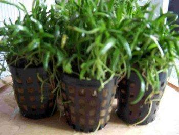 Mühlan Wasserpflanzen 3 Töpfe Neuseelandgras, Rasen im Aquarium