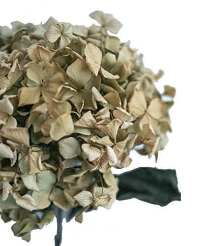 Hortensias Naturales Secas ya Preparadas