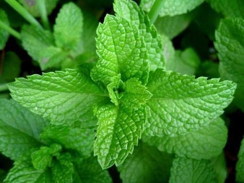 Large Mint Herb Plant in a 14cm Pot - Upright and Bushy Plant