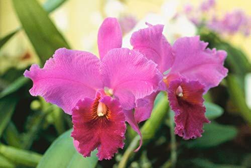 HAWAIIAN CATTLEYA ORCHID PLANTS ~ GROW HAWAII