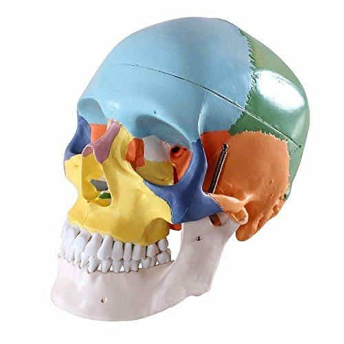ERWEY Anatomischer Didaktik Schädel farbig Schädel Skelett Modell für Anatomieunterricht (Schädel farbig)