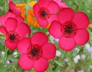 David's Garden Seeds Flower overseas Flax Pink SAL1114 Ranking TOP19 Scarlet 500 Non-