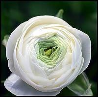 ラナンキュラス根茎,観賞植物,美しい花,切り花,あなたを幸せにする,リッチでカラフル,ホリデーギフト,多くの色,特に植える価値がある-2根茎,2