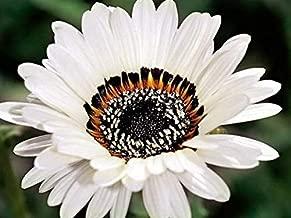 GL Seeds Venidium Prince Zulu Organic