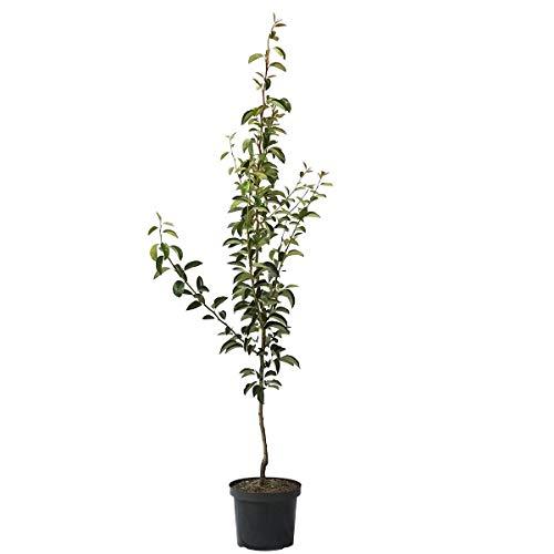 Müllers Grüner Garten Shop Birnenbaum Williams Christ Herbstbirne Tafelbirne Buschbaum 150-170 cm 10 Liter Topf Quitte A